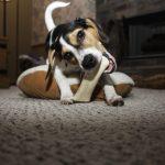 もう安心!犬の噛む行為を正しいしつけ方法で防止しよう!