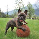 犬がおもちゃを丸呑み! 何でも食べるわんちゃんの予防と対処法