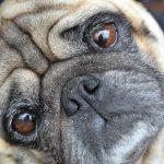 犬の目の周りが臭いのはなぜ? 原因は涙や目やにが関係していた?
