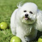 犬も満足!? りんごを使ったおやつレシピとりんごの注意点!!