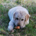 犬に野菜は必要ない! 栄養のバランスは人間とは違うんです